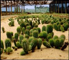 Hoodia. Hoodia - weight loss without side effects.